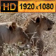 Lioness Looking for a Pride - VideoHive Item for Sale