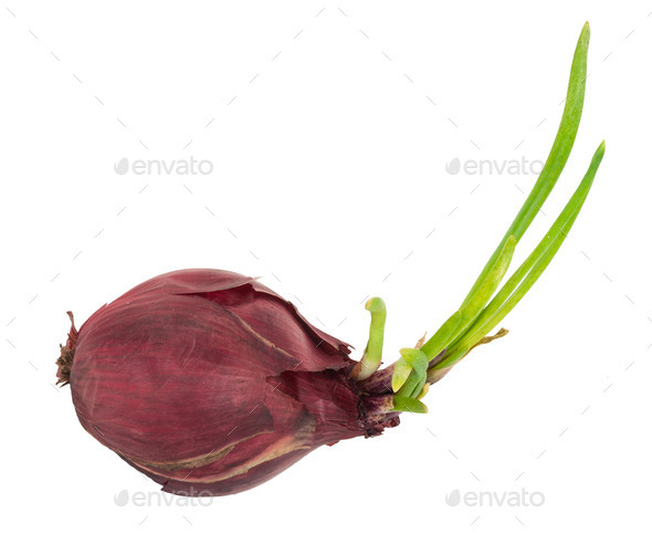 Sprouting red onion - Stock Photo - Images