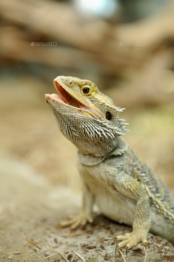 Bearded Dragon Lizard - Stock Photo - Images