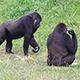 The Western Lowland Gorilla (Gorilla Gorilla) - VideoHive Item for Sale