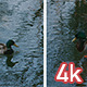 Duck Swimming in Central Park Lake - VideoHive Item for Sale