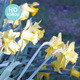 Daffodils Bloom - VideoHive Item for Sale