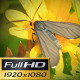 Orange Head Moth - VideoHive Item for Sale