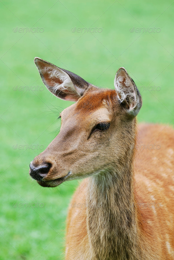 Deer portrait - Stock Photo - Images