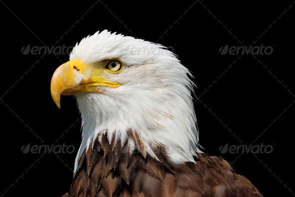 Eagle - Stock Photo - Images