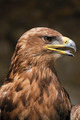 Eagle - PhotoDune Item for Sale