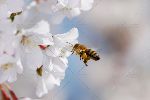 Flying honeybee - Stock Photo - Images