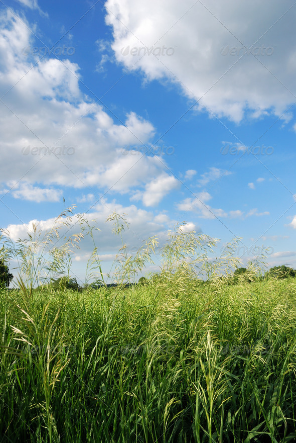 Corn field - Stock Photo - Images