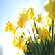 Miniature Daffodil Part 1 - VideoHive Item for Sale