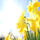 Miniature Daffodil Part 2 - VideoHive Item for Sale