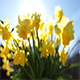 Miniature Daffodil Part 3 - VideoHive Item for Sale