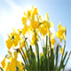 Miniature Daffodil Part 4 - VideoHive Item for Sale