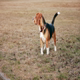 Barking Dog in the Field - VideoHive Item for Sale