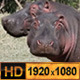 Hippopotamus - VideoHive Item for Sale