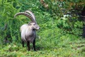Alpine ibex in the swiss alps