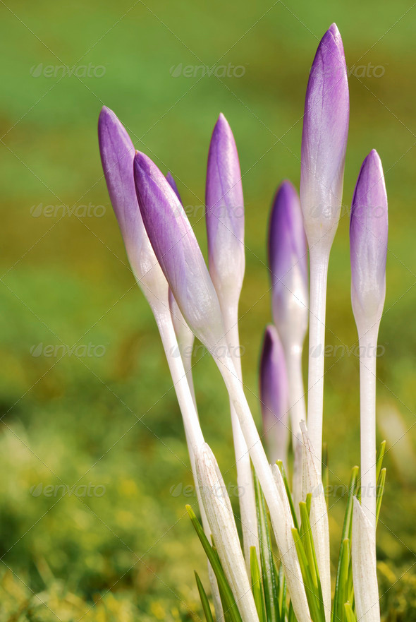 Crocus buds - Stock Photo - Images