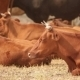 Brown Cows Lie On A Pasture. - VideoHive Item for Sale