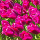 Blooming Tulips - VideoHive Item for Sale
