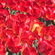 Flowering Red Tulips - VideoHive Item for Sale
