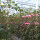 Tomato Plants in High Tech Greenhouse - VideoHive Item for Sale