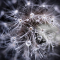 Dandelion seeds with water drops - PhotoDune Item for Sale