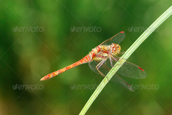 Red dragonfly - Stock Photo - Images