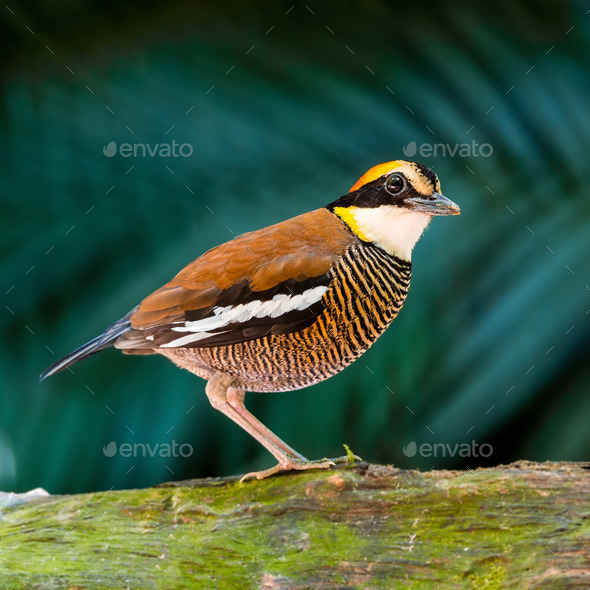 female Malayan Banded Pitta - Stock Photo - Images