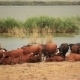 Cows Near The Lake - VideoHive Item for Sale