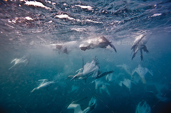 underwater gannets - Stock Photo - Images