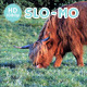 Hairy Highland Cow Grazing - VideoHive Item for Sale