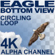 Eagle Circling Bottom View - VideoHive Item for Sale