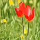 Red Spring Tulips - VideoHive Item for Sale