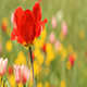 Red Spring Tulip - VideoHive Item for Sale