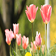 Pink Spring Tulips - VideoHive Item for Sale