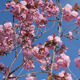 Cherry Blossom Slow Motion - VideoHive Item for Sale