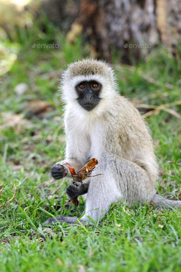 Vervet monkey - Stock Photo - Images