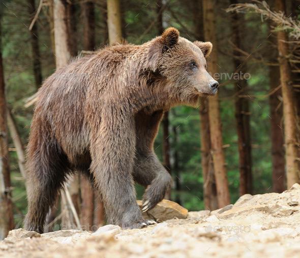 Bear - Stock Photo - Images