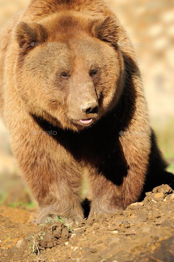 Big Brown Bear - Stock Photo - Images