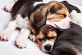 Beagle Puppies, slipping in front of white background