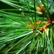 Wet spruce - PhotoDune Item for Sale