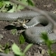 Snake Basking In The Sun - VideoHive Item for Sale