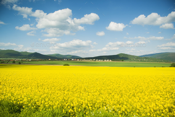 Canola field - Stock Photo - Images