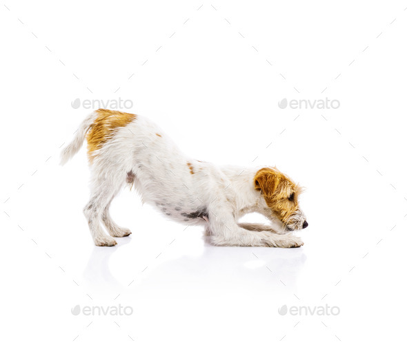 Young dog isolated - Stock Photo - Images