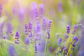 Lavender flowers - PhotoDune Item for Sale