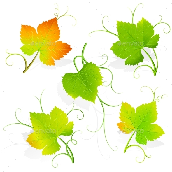 Grape Leaves. Vector - Flowers & Plants Nature