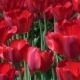 Group Of Red Tulips In The Park - VideoHive Item for Sale