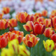 Glade with Tulips - VideoHive Item for Sale