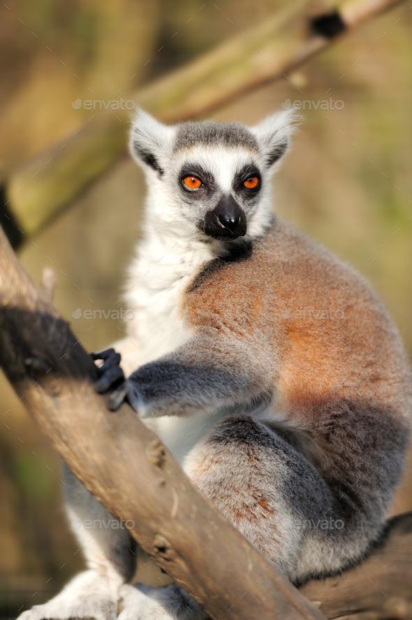 Lemur - Stock Photo - Images