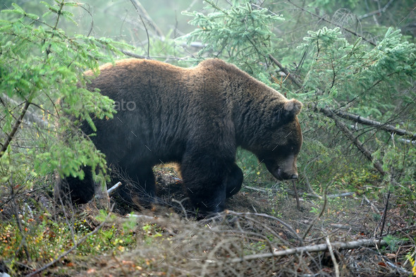 Bear - Stock Photo - Images