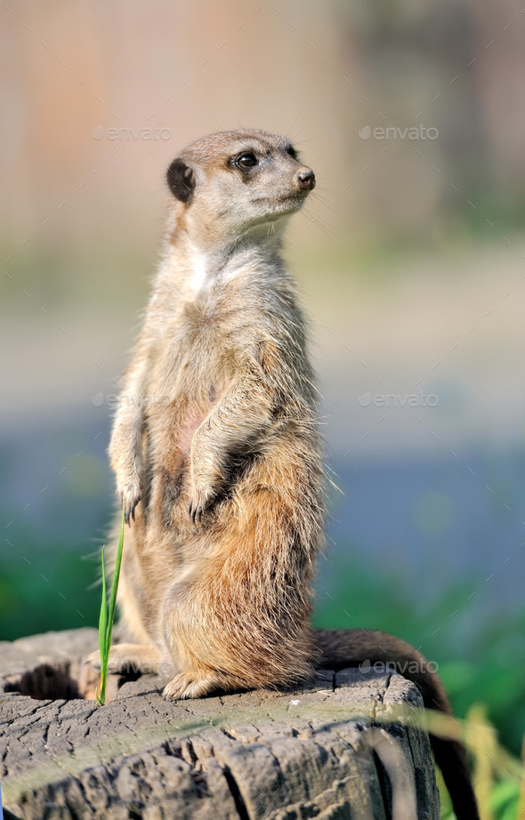 A meerkat standing upright and looking alert - Stock Photo - Images